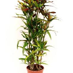 Sub- en tropische planten